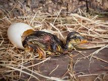 vila för ducklinglucka arkivfoto