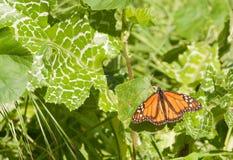 vila för fjärilsleafmonark royaltyfri foto
