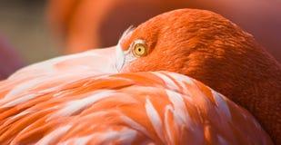 vila för flamingoorange Arkivfoton