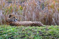 Vila för gepard Arkivbild