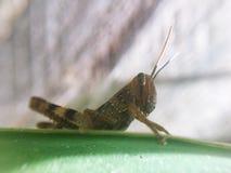 Vila för gräshoppa Arkivfoto