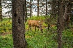 vila för hjortar hjortar äter ett gräs Arkivfoto
