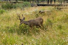 vila för hjortar hjortar äter ett gräs Arkivbild