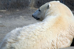 Vila för isbjörn royaltyfria foton
