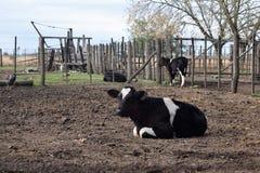 vila för kalv Det finns en annan kalv i baksidan som står Royaltyfri Fotografi