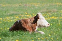 vila för ko Arkivfoto