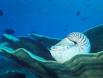 vila för korallnautilus Fotografering för Bildbyråer