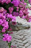 vila för krokodil Arkivfoto