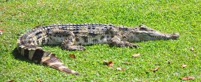 Vila för krokodil Royaltyfri Fotografi