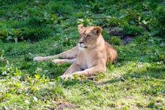 Vila för lejoninna Arkivbilder