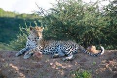 vila för leopard fotografering för bildbyråer