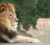 vila för lion arkivfoton
