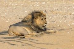vila för lionmanlig Arkivbild