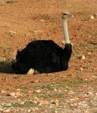 vila för ostrich Arkivbilder