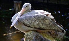 Vila för pelikan arkivfoton