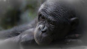 Vila för schimpans Arkivbild