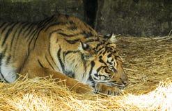 Vila för tiger Arkivfoton