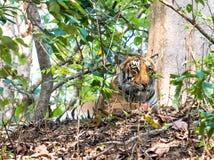 Vila för tigrinna Arkivfoton