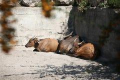 Vila för uddebuffel Royaltyfri Bild