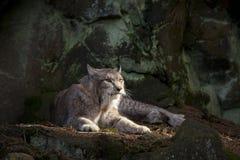 Vila för Bobcat Arkivfoton