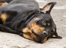 Vila hunden av aveln en Rottweiler Royaltyfria Bilder