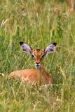 Vila impalan På vila Tarangire, Afrika Arkivbilder