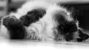 Vila katten royaltyfria bilder