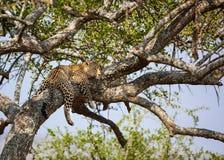 Vila leopard i acatiatree i Afrika Royaltyfri Foto