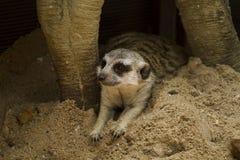 Vila meerkat Arkivfoton