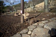 Vila Nara Deer Arkivfoton