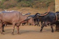 Vila onde grupo de búfalo que vagueia para o alimento e a água na Índia fotos de stock royalty free