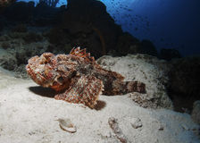 Vila scorpionfishen Royaltyfria Foton