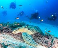 Vila sköldpaddan som belägras av dykare royaltyfria foton
