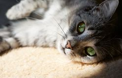 Vila upp katten i naturlig hem- bakgrund i en skugga, lat kattframsidaslut, liten sömnig lat katt, tamdjur på siestatid, D Royaltyfri Foto