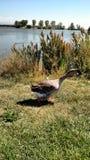 Vilain petit canard Photos stock