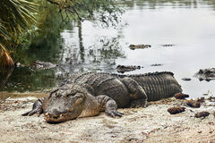 Vilande alligator Arkivfoto