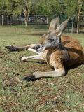 Vilande känguru Royaltyfri Foto