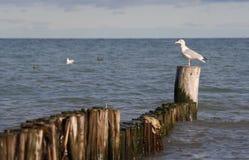 vilande seagullwhite Arkivbild