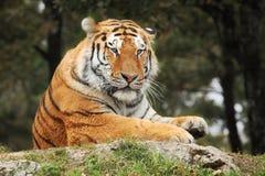 vilande tiger Arkivfoto