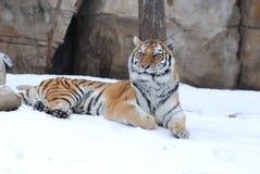 vilande tiger Fotografering för Bildbyråer