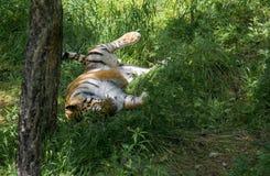 vilande tiger Royaltyfri Fotografi