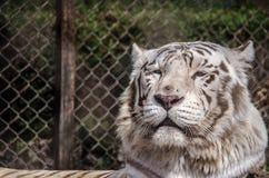 vilande tigerwhite Royaltyfria Bilder
