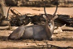 vilande waterbuck Fotografering för Bildbyråer