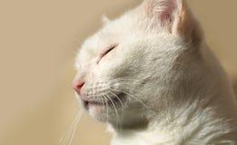 vilande white för katt Royaltyfri Fotografi