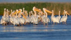 Vilar vita pelikan för den lilla flocken på vattnet Arkivfoto