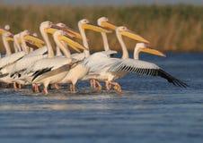 Vilar vita pelikan för den lilla flocken på vattnet Royaltyfria Foton
