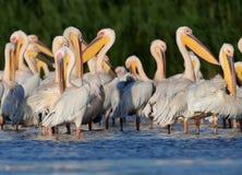 Vilar vita pelikan för den lilla flocken på vattnet Royaltyfri Fotografi