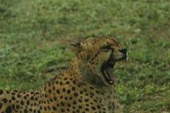 Vild blick av geparden med den öppna munnen för sned boll Royaltyfri Fotografi