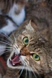 Vild inhemsk katt med den öppna munnen Fotografering för Bildbyråer