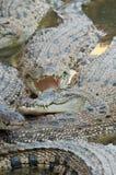 vild krokodil Fotografering för Bildbyråer